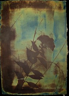 Cyanotype and Vandyke brown print showing brown silhouette of leaves, stems, flowers on mostly green background