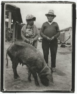 An elderly couple stand behind a domestic hog in a farm