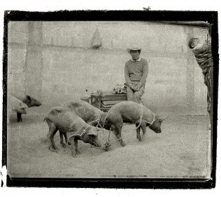 A man sits on a feeding trough near a group of tethered hogs