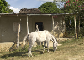 white horse grazes in front of old, rural farmhouse, Guatemala